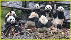 Исследовательский питомник гигантских панд